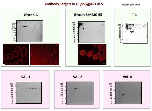 hes-antigens